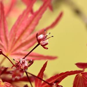春に紅葉!? …… 福岡市植物園のイロハモミジ(静崖)