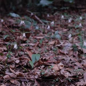 里山の春⑦ …… 背振のホソバナコバイモ