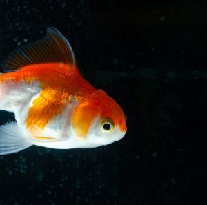 【本日のネタ】生まれ変わって魚になるとしたら何になりたい?