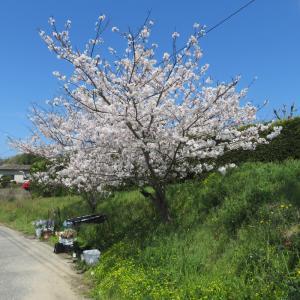 満開の桜の下の花屋さん!さくら花店!
