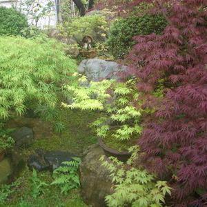 青枝垂れと紅枝垂れ、山モミジの新緑が眩しい庭の風景から