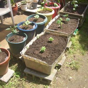 ゴールデンウィークはネバネバ野菜や夏野菜植え付けの適期です。