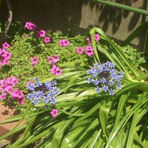 庭の花が色鮮やかに賑わってきました!5月に咲く庭の花写真集
