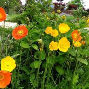 アップ画像が可愛いイングリッシュガーデン五月の草花たち