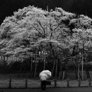 薄墨桜2020