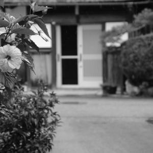 水中花(梅花藻)咲く醒ヶ井(6)