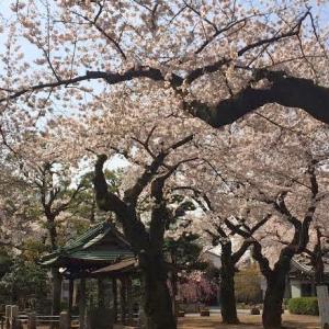 4月、桜満開