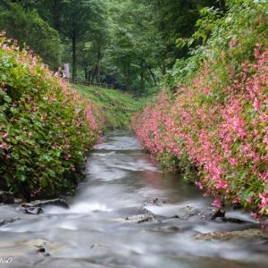 満開の秋海棠☆出流ふれあいの森