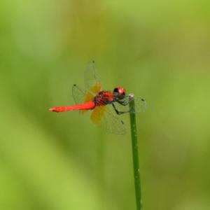 ハッチョウトンボ(八丁蜻蛉)
