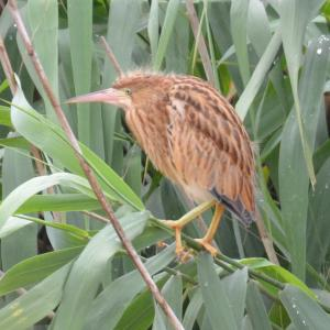 ヨシゴイの幼鳥