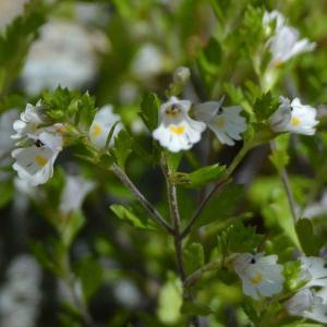 ミヤマコゴメグサ( 深山小米草)