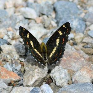 サカハチチョウ(逆八蝶)