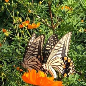 アゲ ⤴️ 波 蝶    花も嵐も   踏み越えて