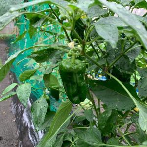 今日はナンパの日~雨の中、畑の野菜の収穫~届いた物~今晩のおうちごはんは豚ナス丼~お金事情~
