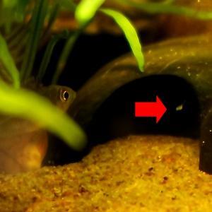 グリーンドワーフシクリッド:ついに孵化しました!! 動画 #007