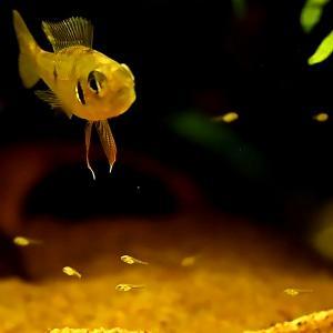 グリーンドワーフシクリッド:稚魚への給餌 動画 #009