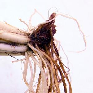 水草を植える前の根の処理