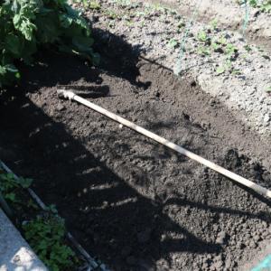 玉ねぎは芽が出た