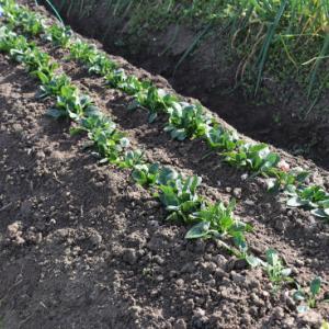 ほうれん草を植え替える