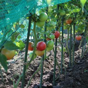 トマトの整枝&追肥