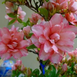 さつきの花