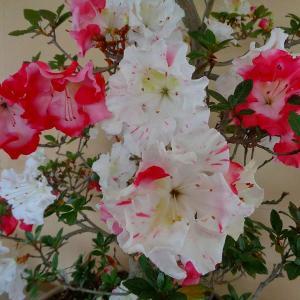 さつきの花とアジサイ