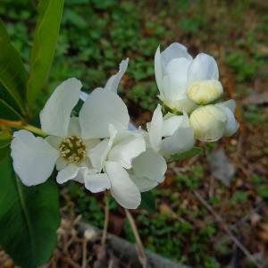 利休梅も咲き始めました。