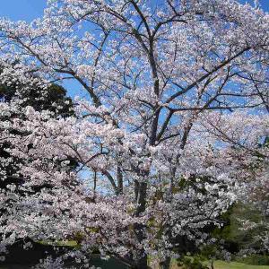 桜の花が満開でした!
