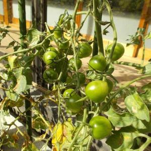 トマトマトマト…。