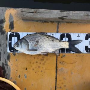 2019年 ヘラブナ釣り その14 新ベラ放流