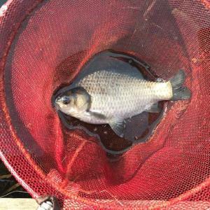 2020年 10月 ヘラブナ釣り 三つ池 その9