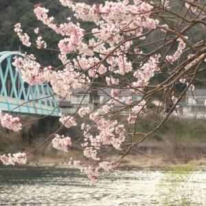 外来と枝垂れ桜