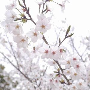 岡山 三徳園の桜
