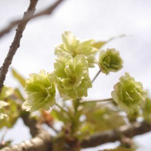 鬱金桜と御衣黄