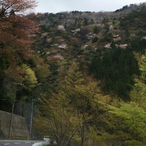 奈良県南部 残り桜ハンティング