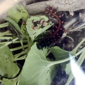 菫の葉っぱは幼虫の大好物(※虫画像注意※)