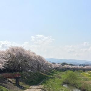 桜の下をお散歩