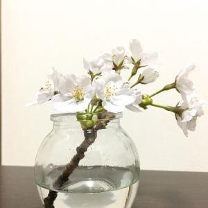お部屋の桜