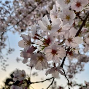 夕焼けと黄砂と桜