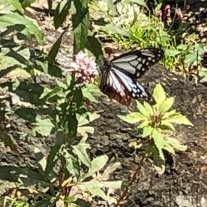 アサギマダラ・・・旅する蝶々とは??