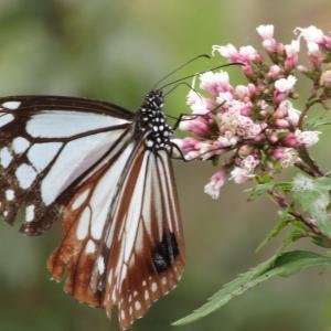旅する蝶 アサギマダラのマーキングについて・・・!?