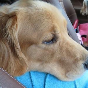 久しぶりの山崎川散歩で疲れてしまったゴールデン