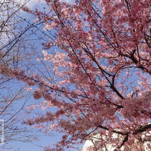 クレアパークの桜