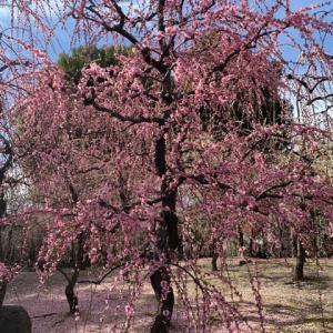 桜もいいけど梅もいいなぁ