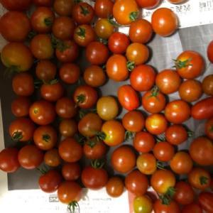 ミニトマトを大量に収穫す