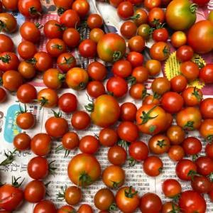 野菜を沢山収穫