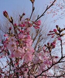 マラソンはじまりました & 桜