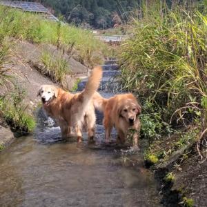 川の中でも仲良しの叔母と姪っ子ゴールデンレトリバー。