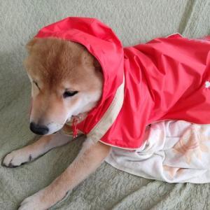 犬にレインコートって必要なの?我が家で使っているレインコートはこれ!