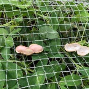 落花生を食べあさるのはハクビシン?